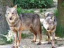 128px-Canis_lupus_signatus_(Kerkrade_Zoo)_21